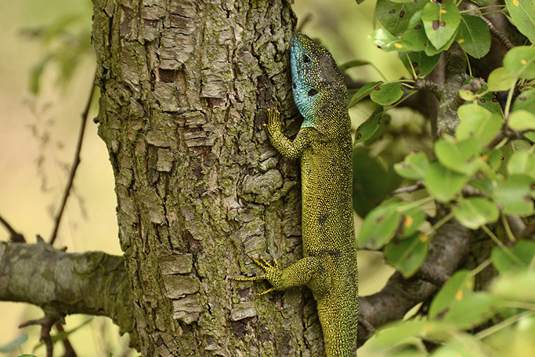 Smaragdeidechse an Baum