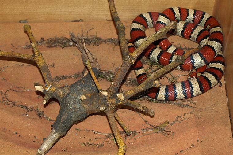 Veränderliche Königsnatter (Lampropeltis mexicana thayeri)