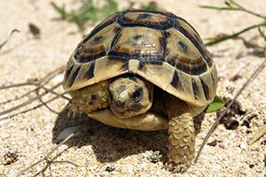 Jungtier Schildkröte