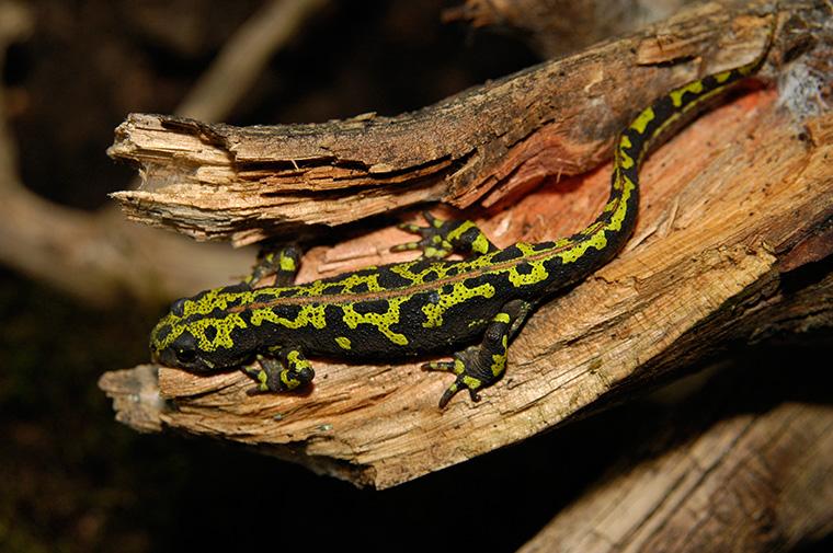 Marmormolch (Triturus marmoratus), Weibchen an Land