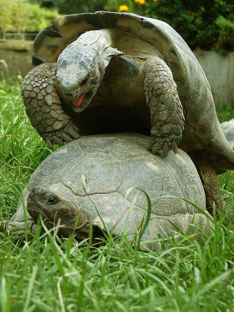 Breitrandschildkröte (Testudo marginata), Paarung