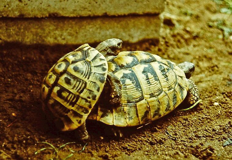 Griechische Landschildkröte (Testudo hermanni), Paarung