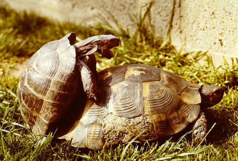 Maurische Landschildkröte (Testudo graeca)