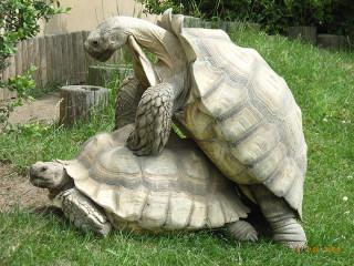 Spornschildkröte (Centrochelys sulcata), Paarung