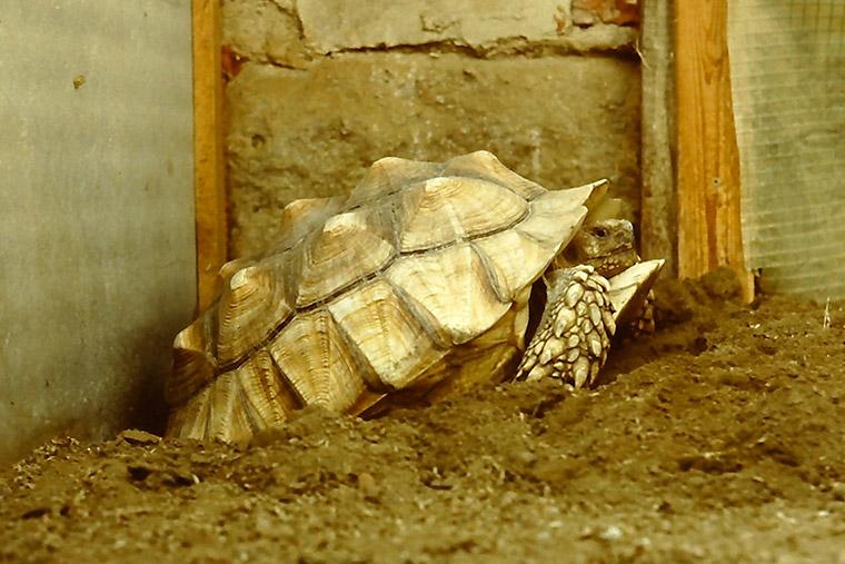 Spornschildkröte (Centrochelys sulcata), Eiablage
