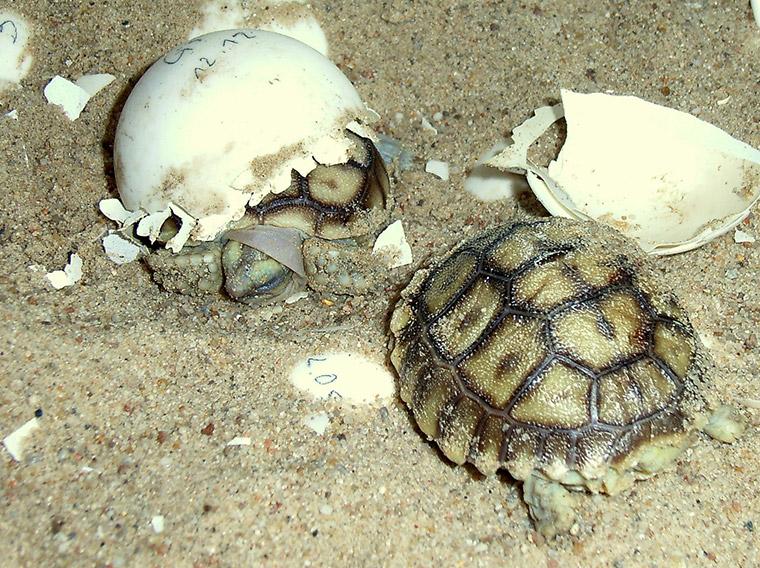 Spornschildkröte (Centrochelys sulcata), Jungtiere