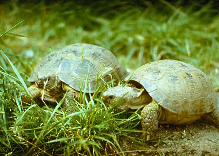 Vierzehenschildkröte (Testudo horsfieldii)