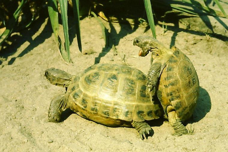 Vierzehenschildkröte (Testudo horsfieldii), Paarung