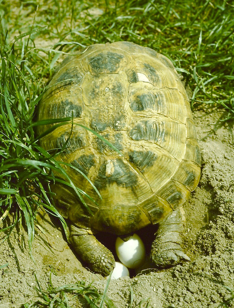 Vierzehenschildkröte (Testudo horsfieldii), Eiablage
