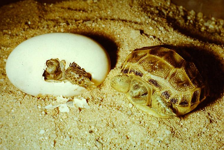 Vierzehenschildkröte (Testudo horsfieldii), Schlupf, Jungtier