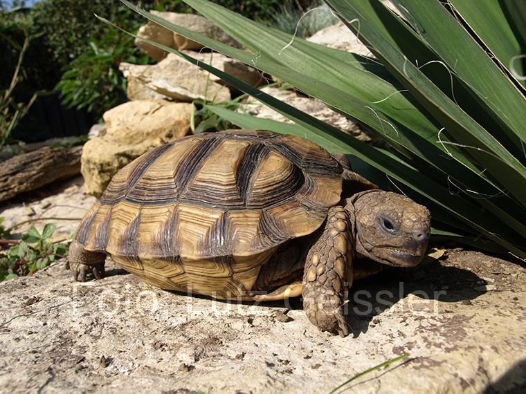 Argentinische Landschildkröte, Chelonoidis chilensis