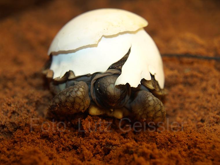 Argentinische Landschildkröte, Chelonoidis chilensis, Jungtier, Schlupf
