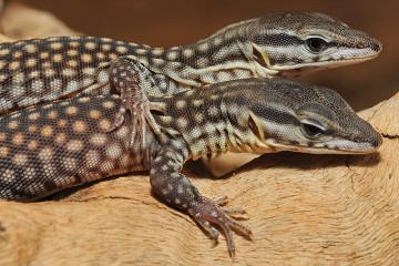 Stachelschwanzwaran, Varanus acanturus