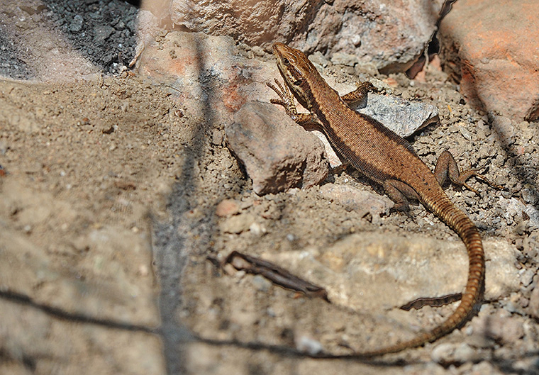Mauereidechse (Podarcis muralis), Weibchen