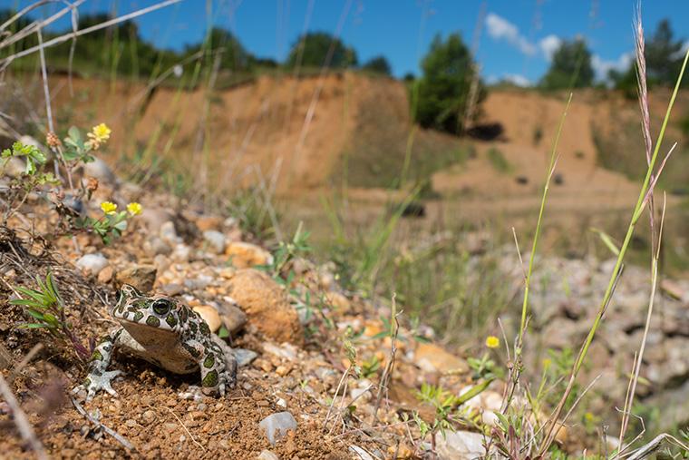 Wechselkröte, Bufotes viridis im Biotop