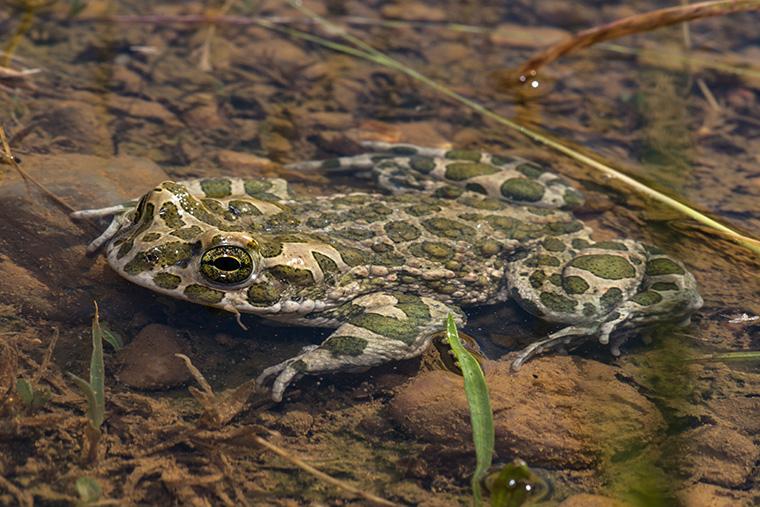 Wechselkröte, Bufotes viridis im Laichgewässer