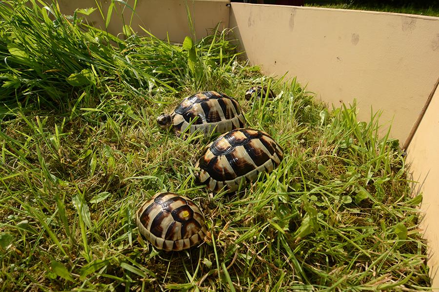 Landschildkröten, Jungtiere