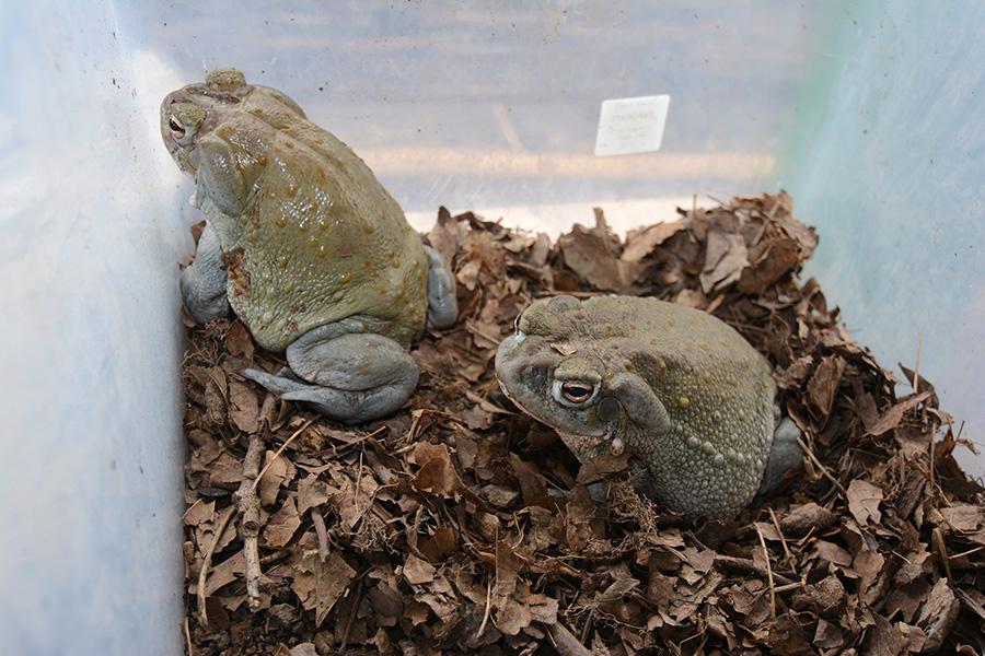 Coloradokröte (Bufo alvarius)
