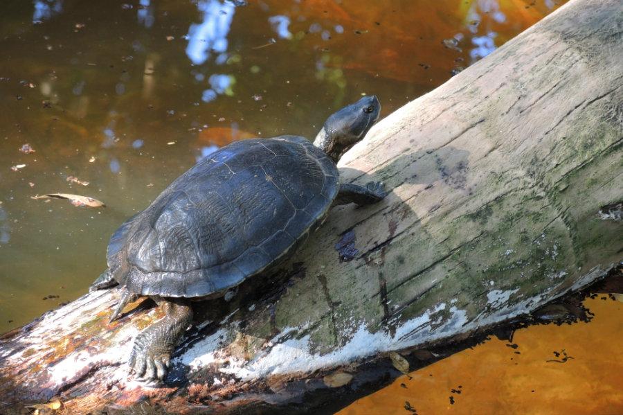 Trachemys decorata, Wasserschildkröte