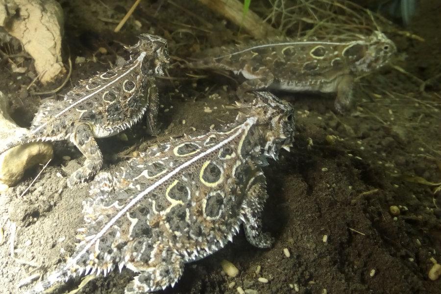 Krötenechsen