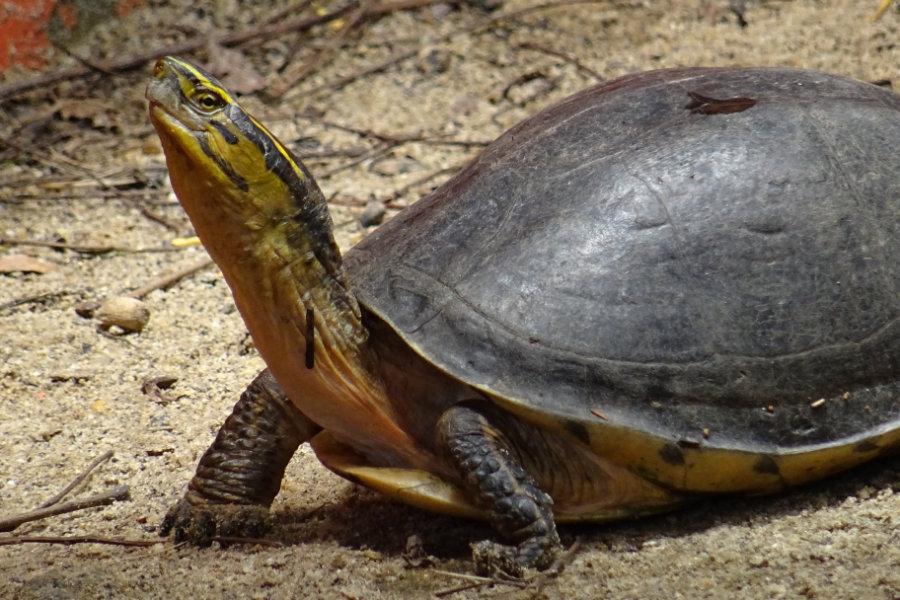Amboina-Scharnierschildkröte Cuora amboinensis