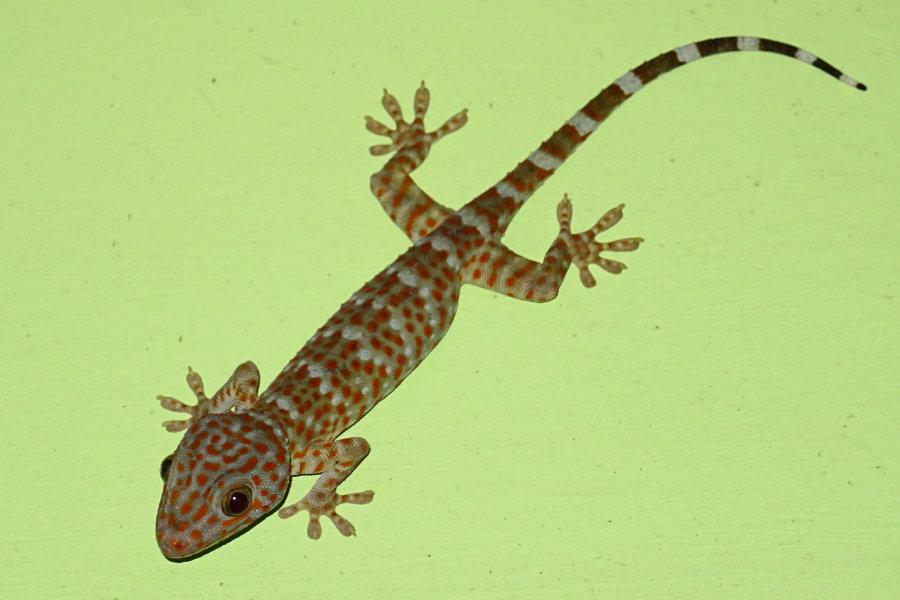 Tockeh, Gecko gecko