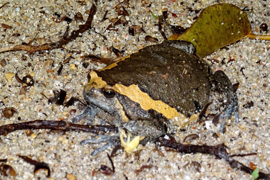Indischer Ochsenfrosch, Kaloula pulchra