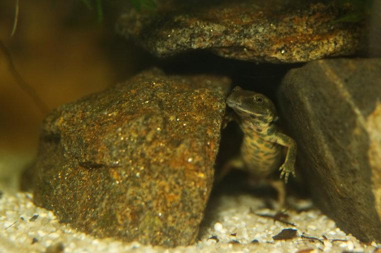 Sardischer Gebirgsmolch, Hechtkopfmolch, Euproctus platycephalus