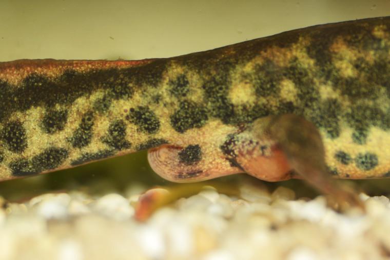 Sardischer Gebirgsmolch, Hechtkopfmolch, Euproctus platycephalus, Kloake Männchen