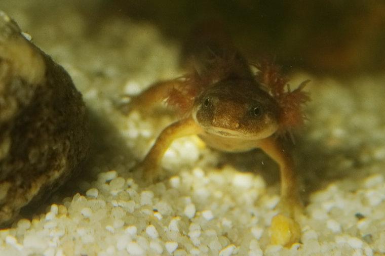 Sardischer Gebirgsmolch, Hechtkopfmolch, Euproctus platycephalus, Larve