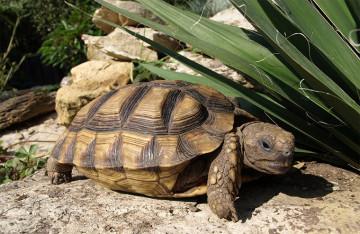 Argentinische Landschildkröte