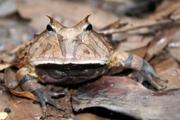 Hornfrosch