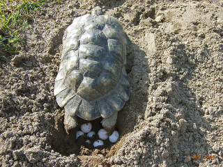 Breitrandschildkröte (Testudo marginata), Eiablage