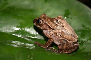 Baumfrosch, Paarung Leptopelis ocellatus