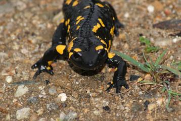 Pirin-Feuersalamander (Salamandra salamandra beschkovi)