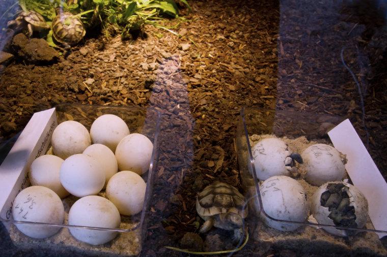 Schildkröteneier und Jungtiere, teilweise schlüpfend