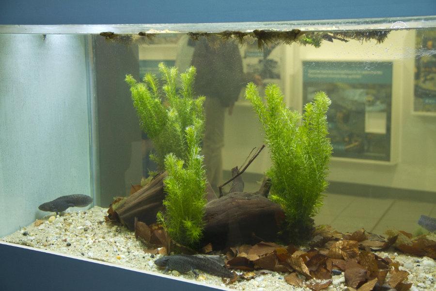 Ein Becken mit Axolotln