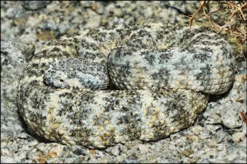 Gefleckte Klapperschlange (Crotalus mitchellii)