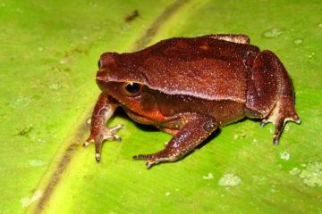 Kalophrynus sinensis