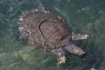 Nil-Weichschildkröte (Trionyx triunguis)