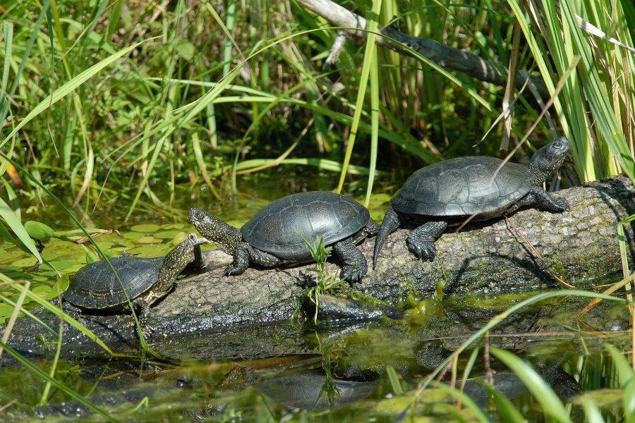 Sumpfschildkröten (Emys orbicularis)