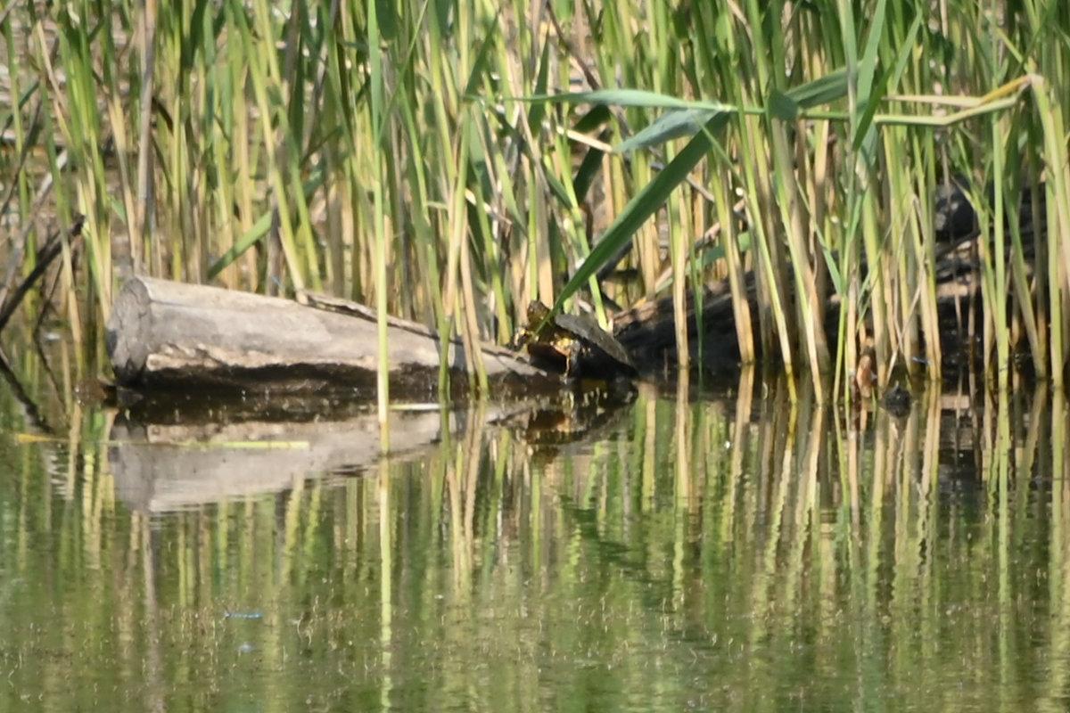 ... eine adulte Sumpfschildkröte (maximale Ausschnittsvergrößerung)