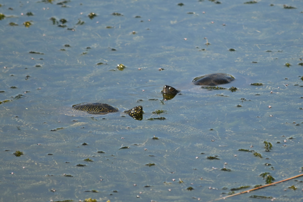 Sumpfschildkröten