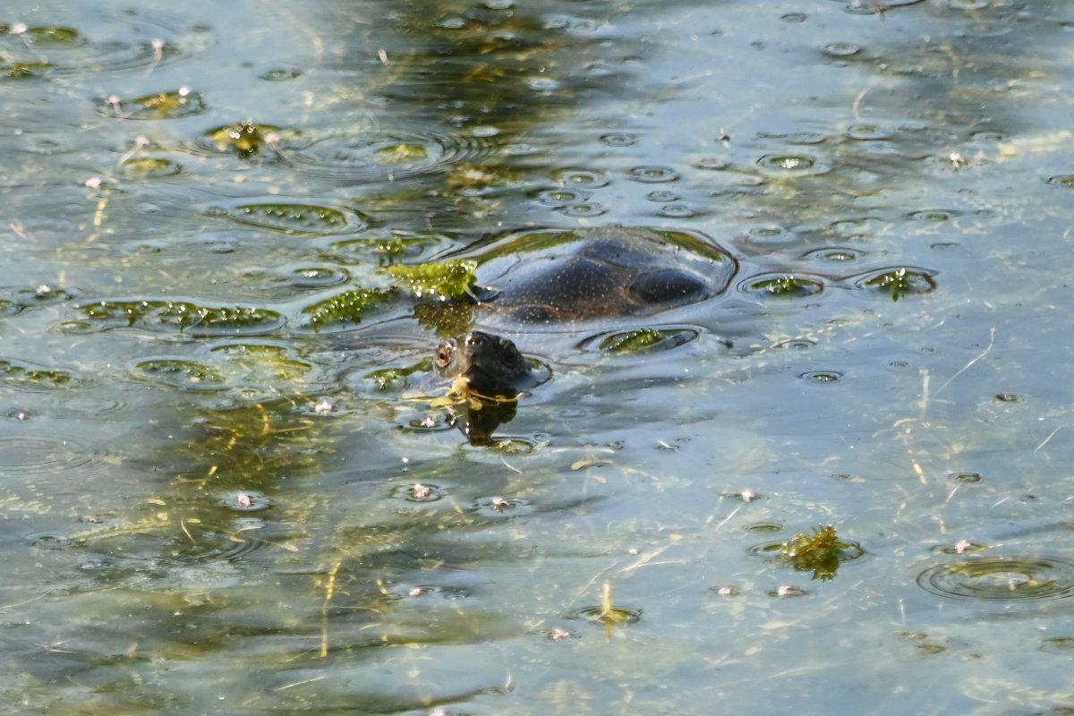 Sumpfschildkröte im Wasser
