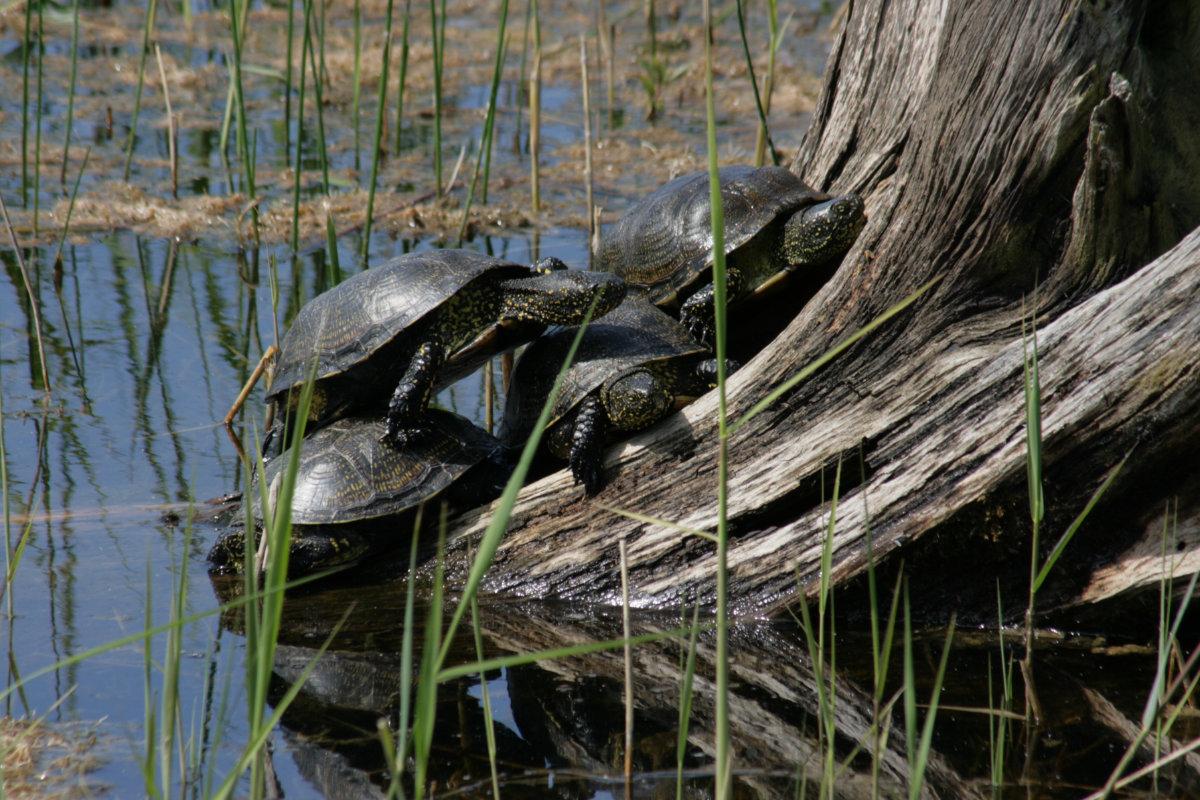 Sumpfschildkröten im Biosphärenreservat Blumberger Mühle (Aufnahme von 2008)