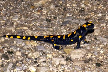 Salamandra infraimmaculata